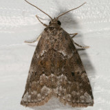 9038 - White-lined Graylet Moth - Hyperstrotia villificans