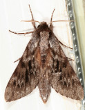 7817 - Northern Pine Sphinx - Lapara bombycoides