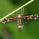 6092 - Himmelman's Plume Moth - Geina tenuidactyla