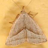 8357 -- Slant-lined Owlet Moth -- Macrochilo absorptalis