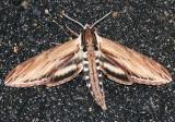 7809 -- Laurel Sphinx Moth -- Sphinx kalmiae