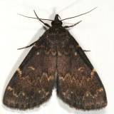 8334 -- Glossy Black Idia Moth -- Idia lubricalis
