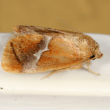 4665 - Yellow-shouldered Slug Moth - Lithacodes fasciola