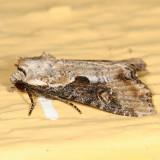 9364.1 - Double-lobed Apamea Moth - Apamea ophiogramma