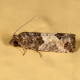 2906 - Eye-spotted Bud Moth - Spilonota ocellana