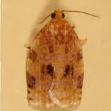3661 - Ugly-nest Caterpillar - Archips cerasivorana