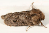0372 – Eastern Grass-tubeworm Moth – Acrolophus plumifrontella