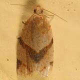 3688 - Garden Tortrix Moth - Clepsis peritana
