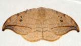 6251 -- Arched Hooktip Moth -- Drepana arcuata