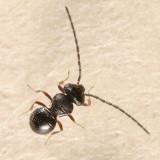 Platygastridae wasps