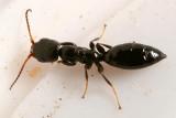 Bethylid Wasp - Bethylidae