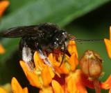 Melissodes bimaculata