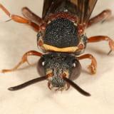 Epeolus bifasciatus (female)