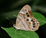 Southern Pearly-eye (Enodia portlandia)