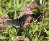 female and male Black Swallowtail (Papilio polyxenes)