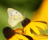 white form female Orange Sulphur (Colias eurytheme)