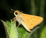 Fiery Skipper (Hylephila phyleus)