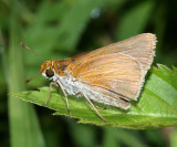 Two-spotted Skipper (Euphyes bimacula)