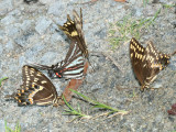 Zebra Swallowtail (Eurytides marcellus) with Palamedes Swallowtail (Papilio palamedes)