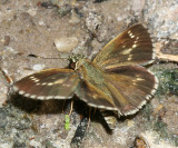 Lace-winged Roadside-Skipper (Amblyscirtes aesculapius)