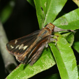 female Zabulon Skipper (Poanes zabulon)