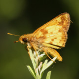 male Zabulon Skipper (Poanes zabulon)