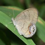 Gemmed Satyr (Cyllopsis gemma)