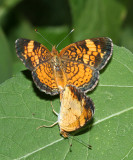 mating Pearl Crescents (Phyciodes tharos)