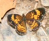 Silvery Checkerspot (Chlosyne nycteis)