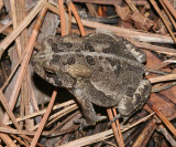 Southern Toad - Bufo terrestris