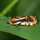 9127 - Common Spragueia - (Spragueia leo)