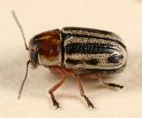 Pachybrachis bivittatus