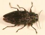Chrysobothris femorata