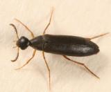 Pelecotoma flavipes (female)