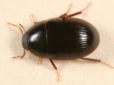 Helocombus bifidus