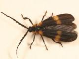 Calopteron sp.
