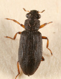 Hydrochus squamifer