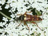 Typocerus velutinus