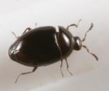 Orthoperus scutellaris