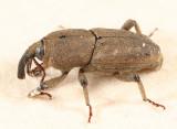 Sphenophorus minimus