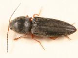 Click Beetles - Subfamily Cardiophorinae