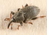 Tychius picirostris