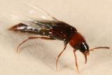 Bryoporus rufescens