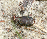 Eastern Red-bellied Tiger Beetle - Cicindela rufiventris