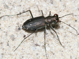 Sidewalk Tiger Beetle - Cicindela punctulata