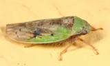 Ponana pectoralis