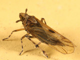 Megamelus sp.