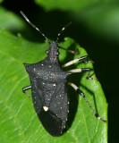 Black Stink Bug - Proxys punctulatus