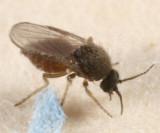 Forcipomyia eques