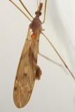Tipula ultima